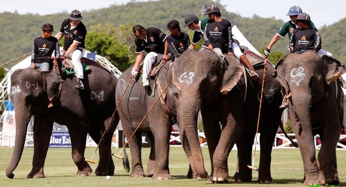 Игра в поло на слонах