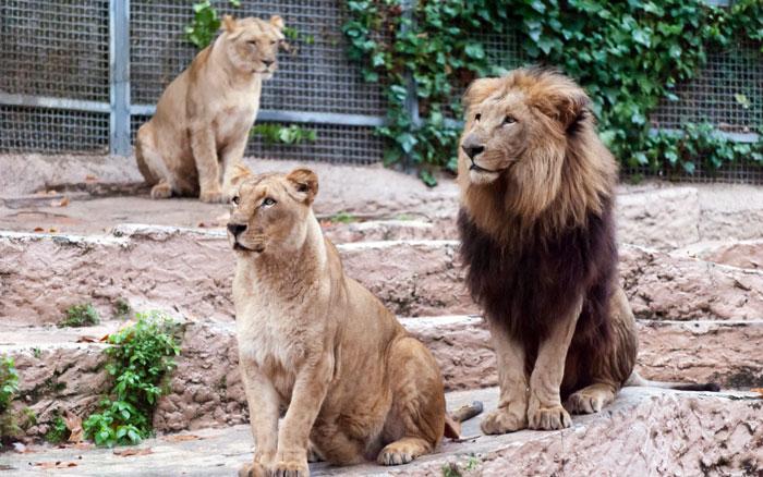 львы зоопарк Барселоны