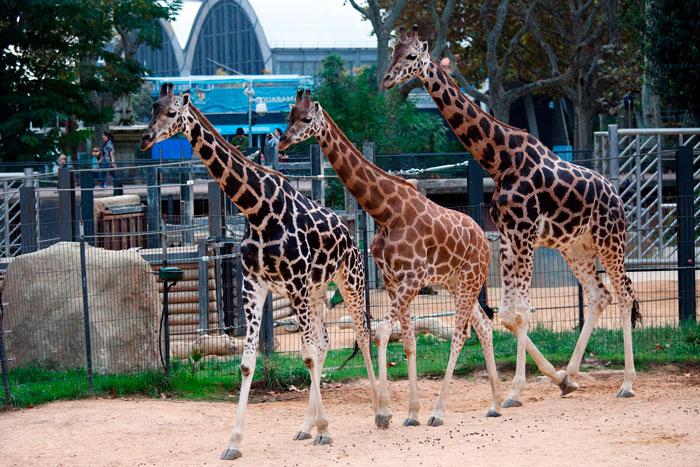 жирафы зоопарк Барселоны